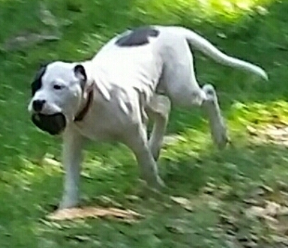 Laura Kennels American Bulldogs